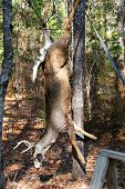 stock photo of scalping  - shot of a Deer Hanging For Processing Vertical  - JPG