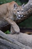 pic of cougar  - Portrait of the Cougars in their natural habitat - JPG