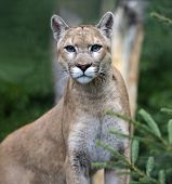 foto of cougar  - Portrait of the Puma in their natural habitat - JPG
