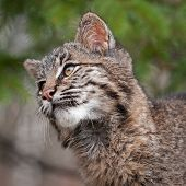 picture of bobcat  - Bobcat  - JPG