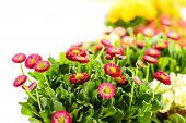 stock photo of pot-bellied  - Bellis potted plant spring flower on white background - JPG