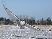 stock photo of snowy owl  - Snowy owl in flight - JPG