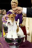 NEW YORK-FEB 11: Sky, a wire fox terrier, wins 'best in show' at the 138th Annual Westminster Kennel