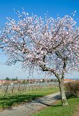Almond Blossom in Palatinate, Germany