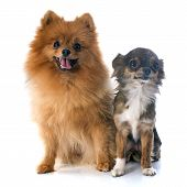 image of miniature pomeranian spitz puppy  - pomeranian spitz and chihuahua in front of white background - JPG