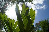 Cardboard Palm Or Coontie Plant Under Sun
