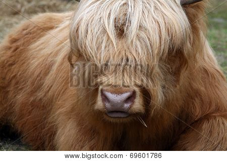 Golden Ox With Long Hair Covering Eyes