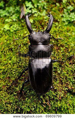 Khao-yai Stag Beetle (hexarthrius Nigritus)
