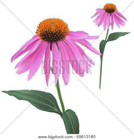 Coneflower - Echinacea purpurea