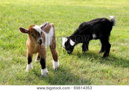 Baby Farm Goats Eating Grass