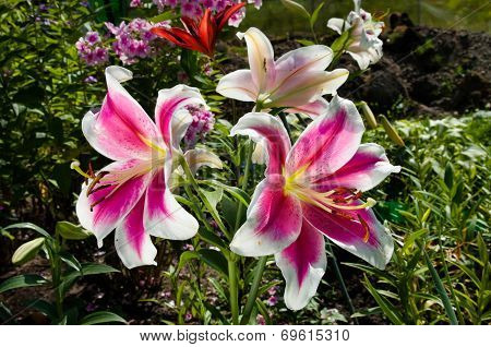 Pink Lily Flowers Blooming On The Garden