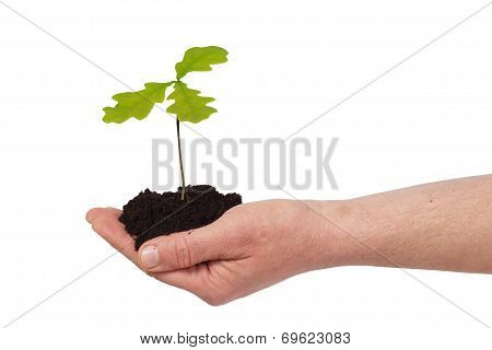 Hand With Young Oak Tree