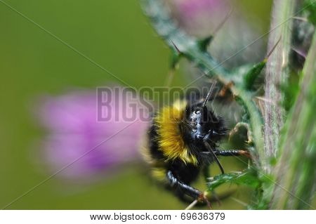 Dreamy bumble bee on a thistle blossom