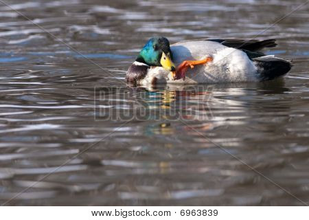 Mallard Duck Male Scratching On Water