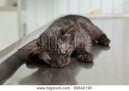 Veterinary, Cat Surgery
