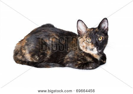 Young Tricolor Cat