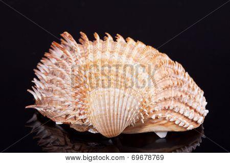 single seashell isolated on black background with reflection