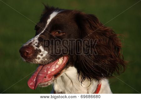 Close Up Of A Working Type English Springer Spaniel Pet Gundog