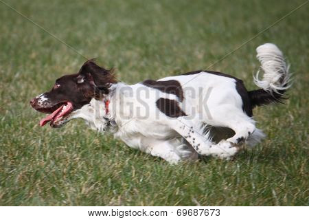 Liver And White Working Type English Springer Spaniel Pet Gundog Running
