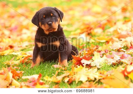 Rottweiler puppy sitting in Autumn leaves poster