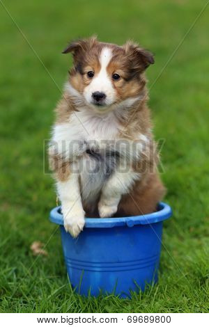 Shetland Sheepdog puppy sitting in blue bucket