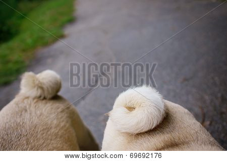 Two Pugs Walking