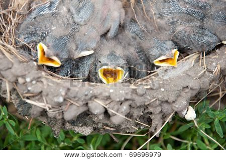 The Chicks In The Nest Of Barn Swallows