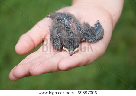 Nestling Barn Swallows In The Hands Of Child