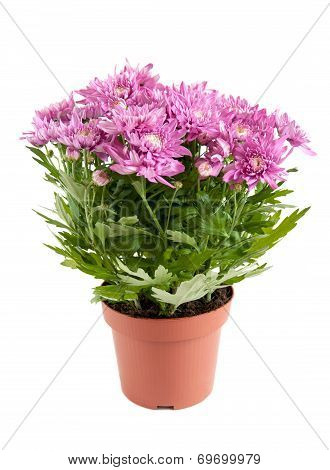 Lilac Chrysanthemums In Pots, Isolated On A White Background
