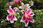 pic of stargazer-lilies  - Pink Lily Flowers on the plant in the garden - JPG