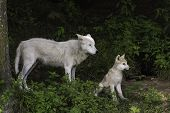 picture of horrific  - A single Arctic wolf and its cub - JPG