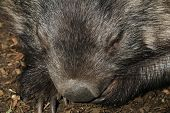 image of wombat  - Cute and furry face of an Australian wombat - JPG