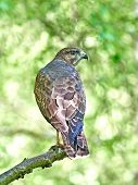 foto of buzzard  - Common buzzard resting and hiding in its habitat - JPG