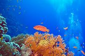 foto of fire coral  - coral reef with red exotic fish cephalopholis at the bottom of tropical sea - JPG