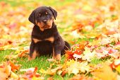 stock photo of spotted dog  - A big boned Rottweiler puppy sits in some colorful Autumn leaves - JPG