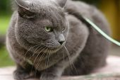 pic of portrait british shorthair cat  - angry cat defending his territory british shorthair - JPG