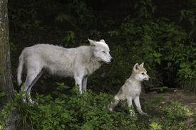 foto of horrific  - A single Arctic wolf and its cub - JPG