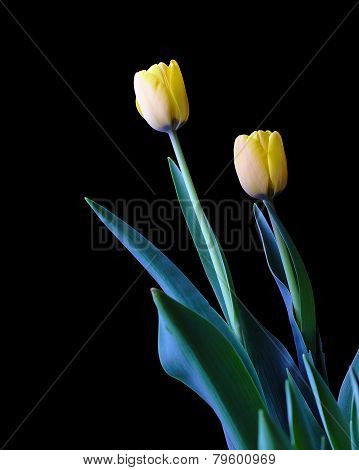 Two yellow tulips isolated on black background