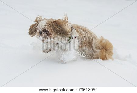 Dog shih tzu playing in snow