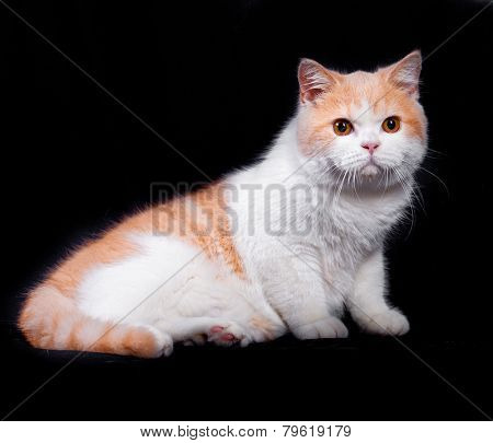 Studio portrait of red white british short hair kitten with orange eyes isolated on black background