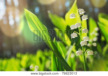 The blossoming lilies of the valley