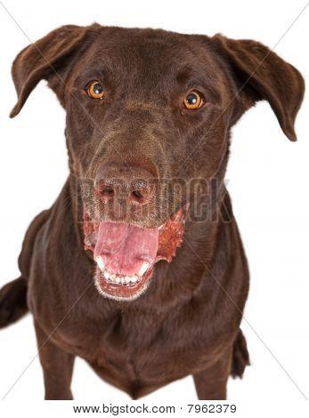 Close-up Of A Happy Chocolate Labrador Retriever Dog