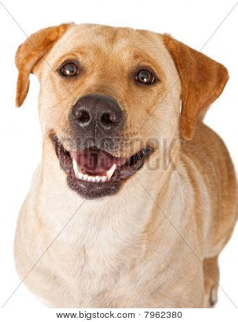 Close-up Of A Happy Yellow Labrador Retriever Dog