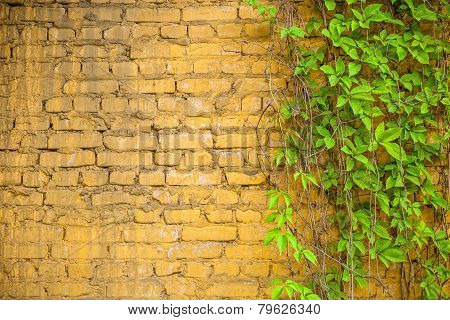 Wall And Grape-vine