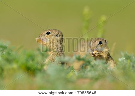 European ground squirrel (Spermophilus citellus) - juvenile