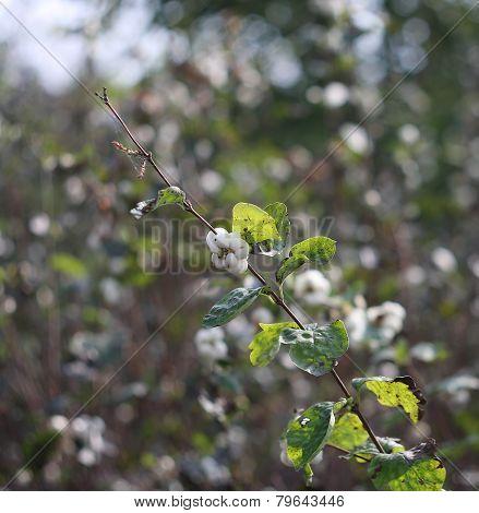 Symphoricarpos Albus - Snowberry