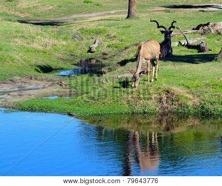 Brown Antelope