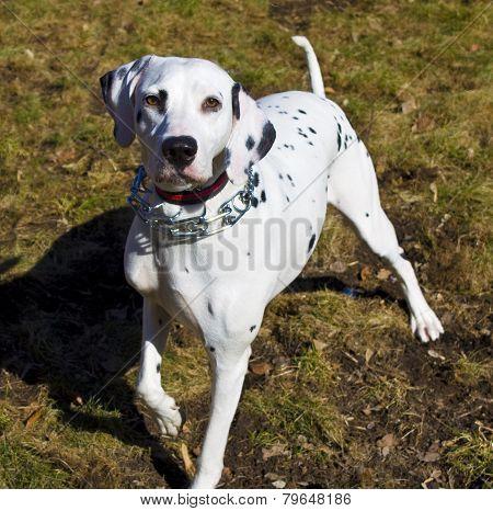 Dog Dalmatian