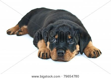 Sleepy Rottweiler Puppy