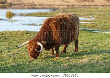 Scottish Highlander.